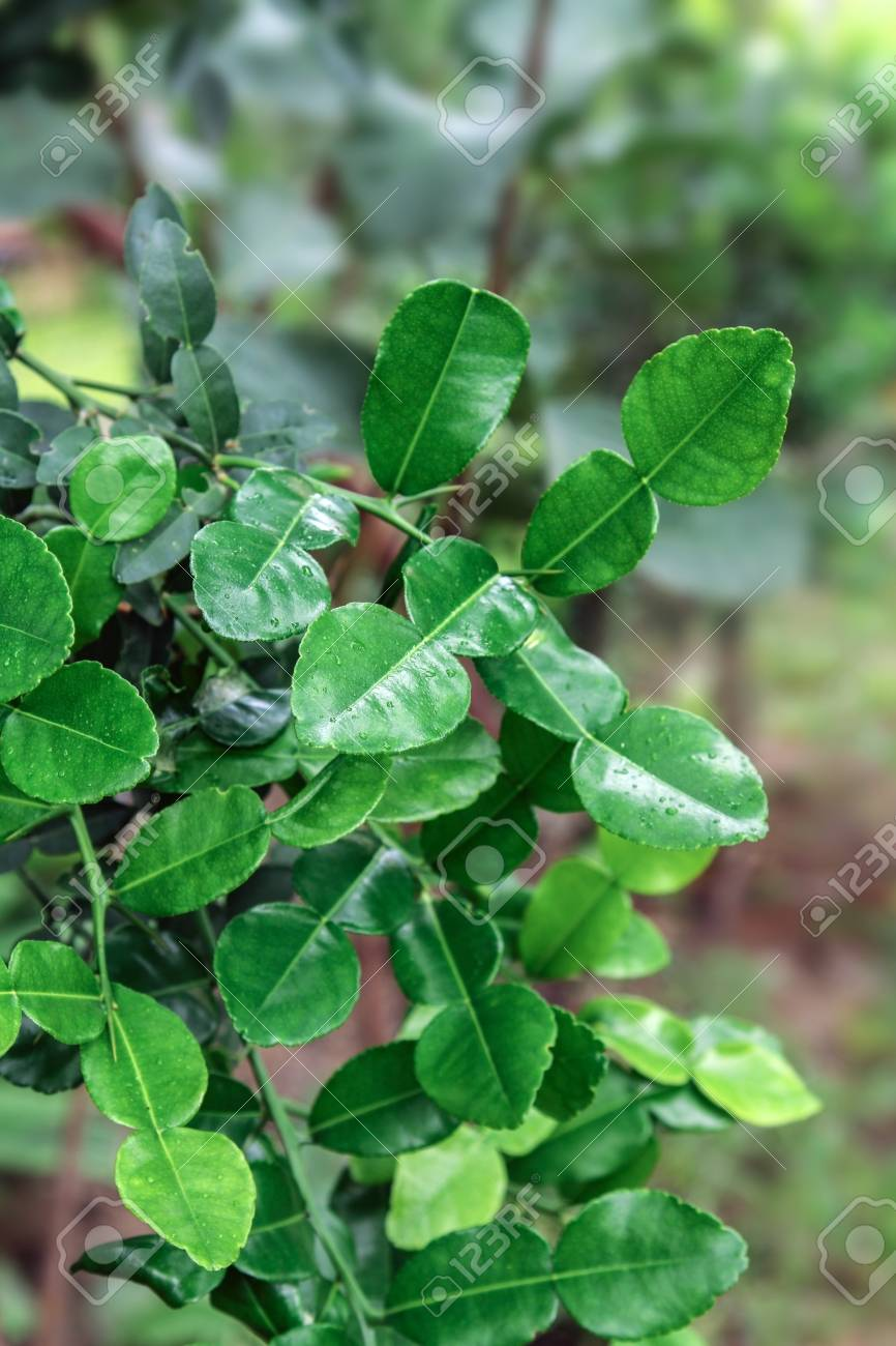 Asiatische Moringa Stock Photo