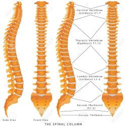 Small Crop Of Picture Of Spine