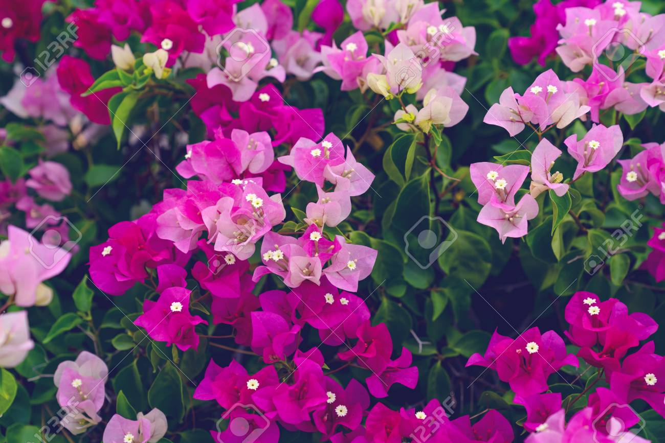 Bougainvillea Wallpaper Beautiful Bougainvillea Flower For Wallpaper Texture And Background