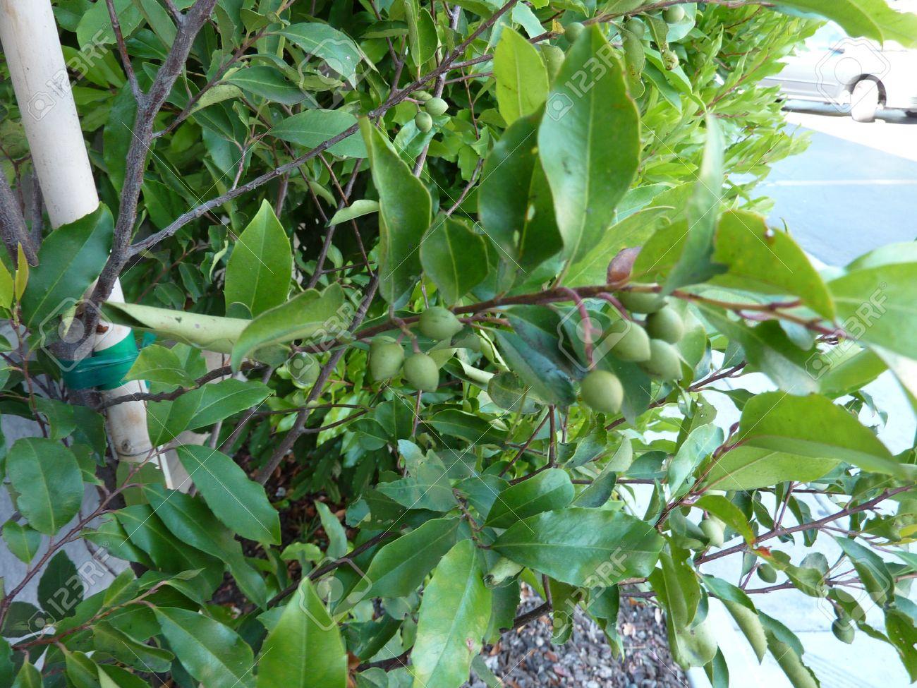Fullsize Of Cherry Laurel Tree