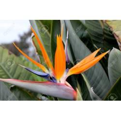Small Crop Of Orange Bird Of Paradise