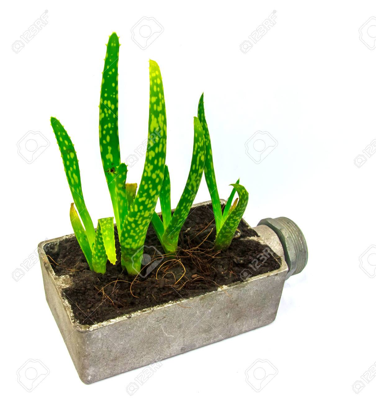 Aloe Vera Kaktus Stock Photo