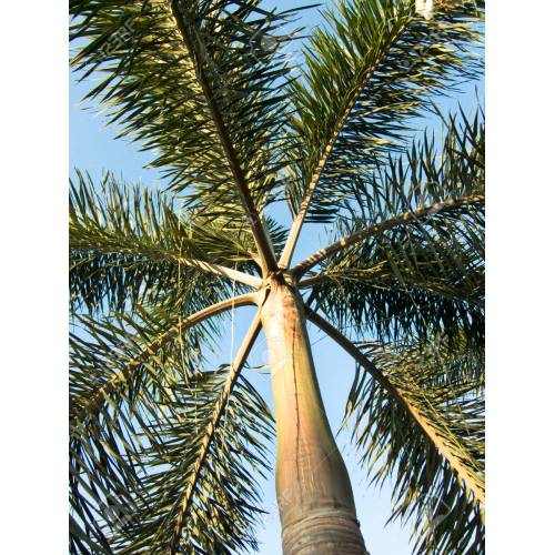 Medium Crop Of Foxtail Palm Tree