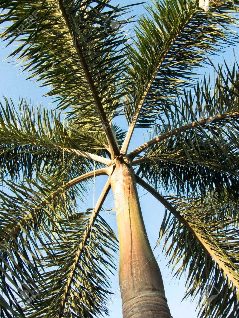 Large Of Foxtail Palm Tree
