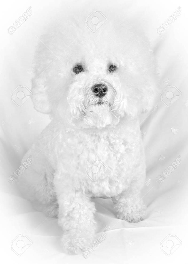 Large Of Fluffy White Dog