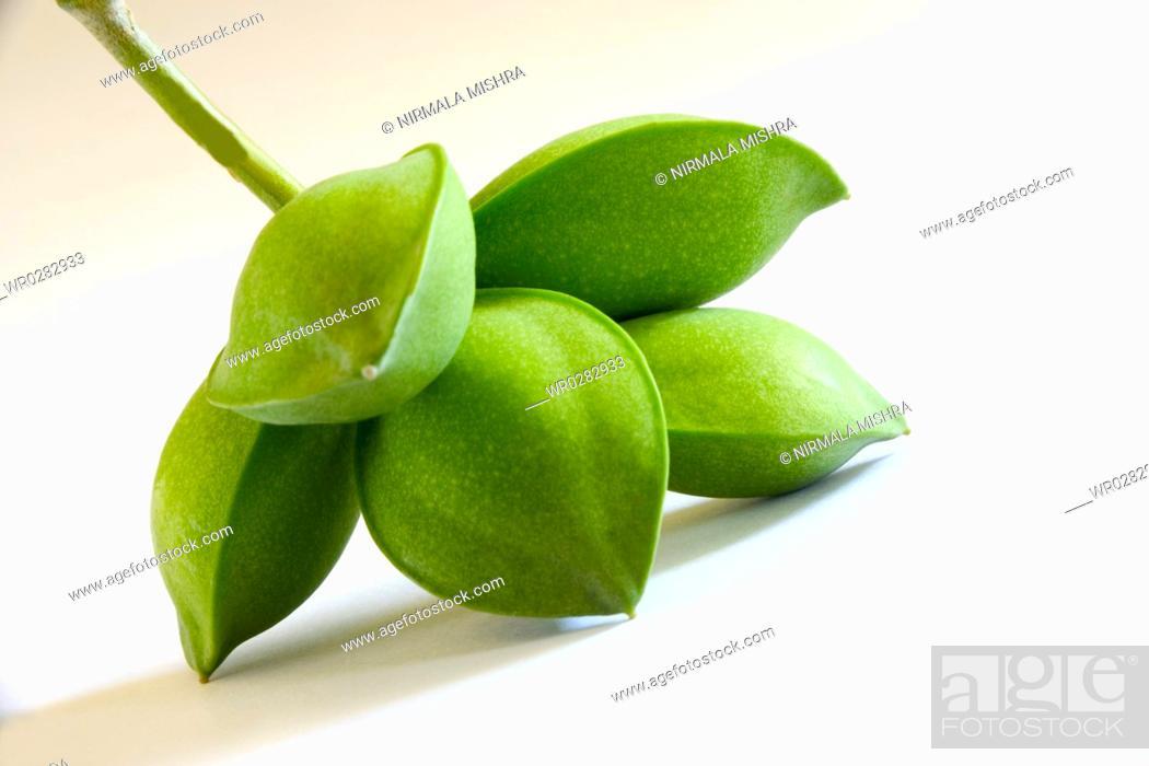 Fruit , five green eye shaped almond badam Prunus dulcis on white