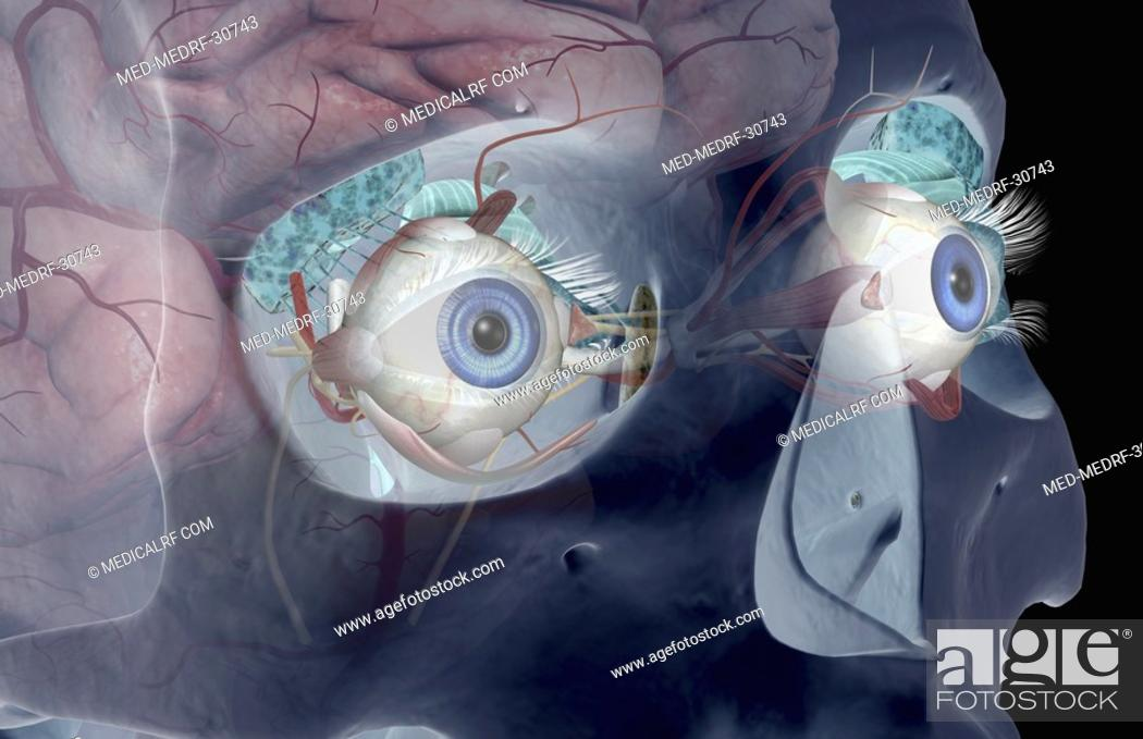 The lacrimal apparatus, Stock Photo, Picture And Royalty Free Image