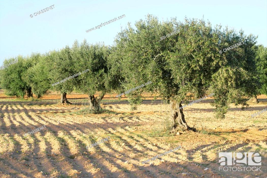 OLIVE TREE PLANTATION Photo essay Olive growing in Tunisia, Stock
