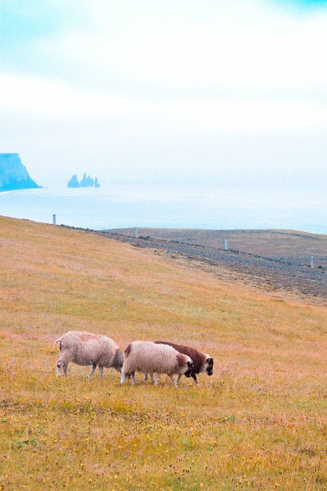 Ovelha Islandia 5