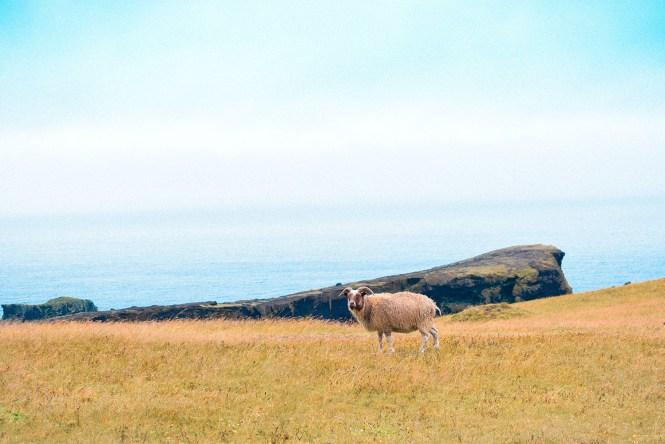 Ovelha - Islândia