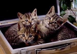 子猫 仔猫 アタッシュケース|cat0044-026