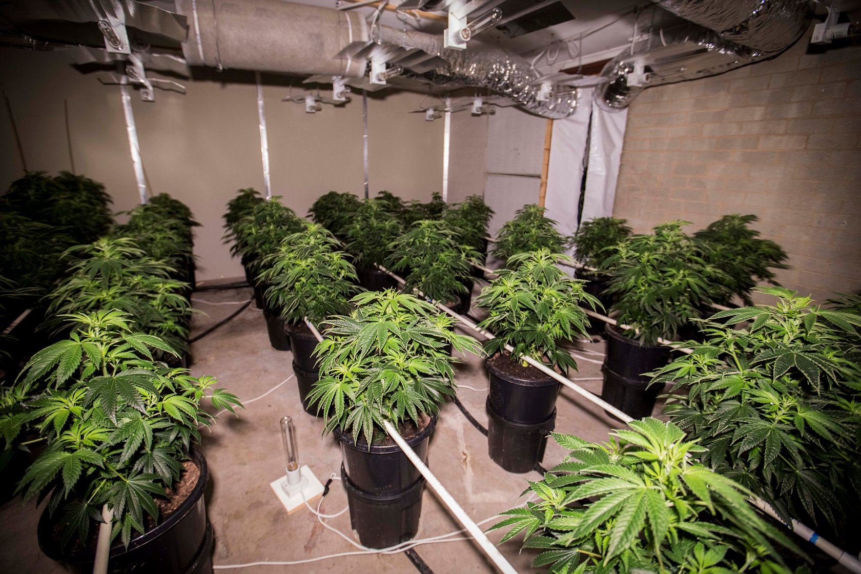 Hydroponic Store Melbourne Cannabis Plants Found Inside Canberra Home