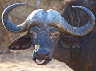 Finding Your Big Five Cape Buffalo