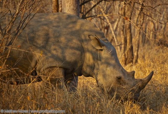 the_prodigal_dog_the_big_five-rhino