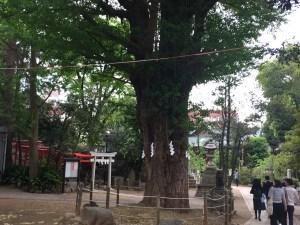 千駄ヶ谷鳩森神社ご神木