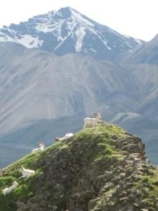 Dall sheep rams on Marmot Rock