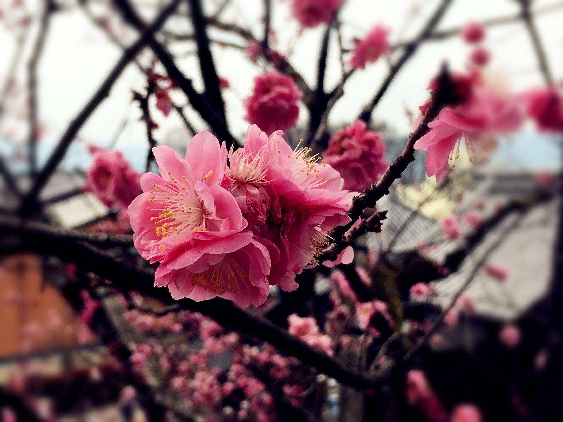 Samsung Galaxy Wallpaper Hd Fondo De Pantalla De Flor Rama 193 Rbol Cerezo Sakura