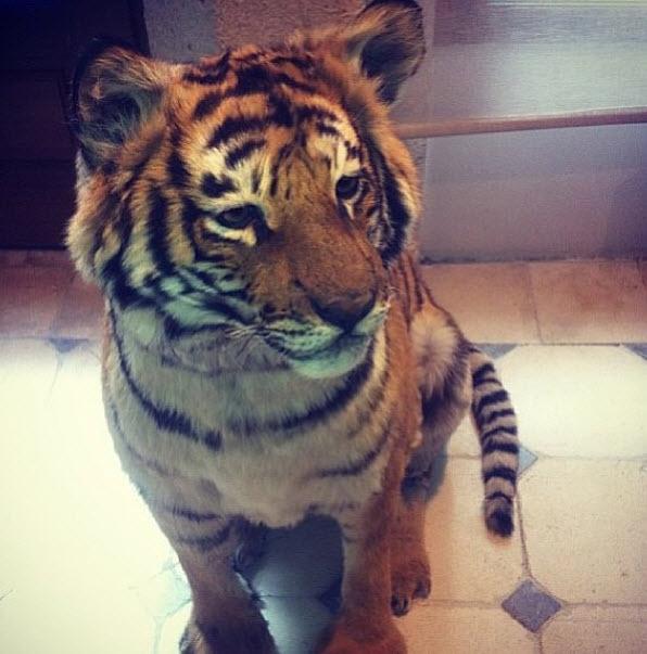 Darnell-Dockett-Tiger-lil-buddy