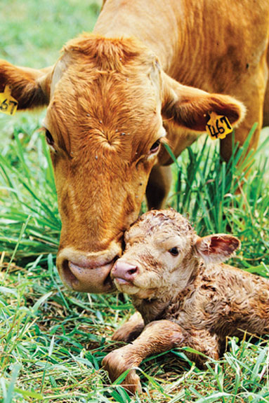 Baby Newborn Umbilical Cord Helping The Newborn Calf Get A Good Start Progressive