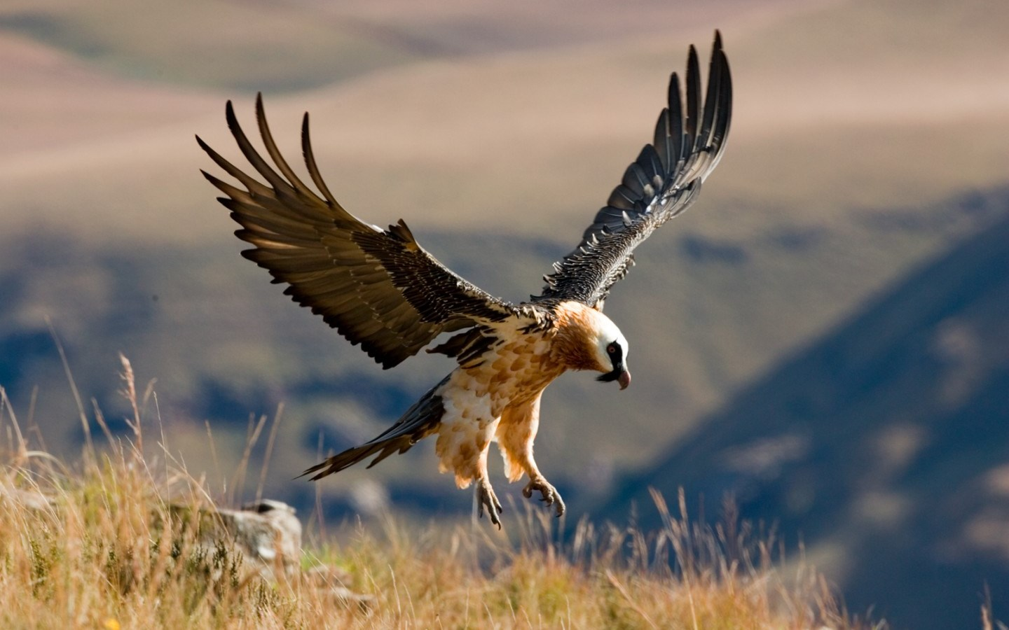 Black Aesthetic Wallpaper Bearded Vulture Project Vulture