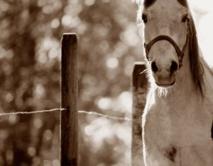 grey-horse-looking