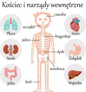 Польский язык, слова на тему: скелет и внутренние органы