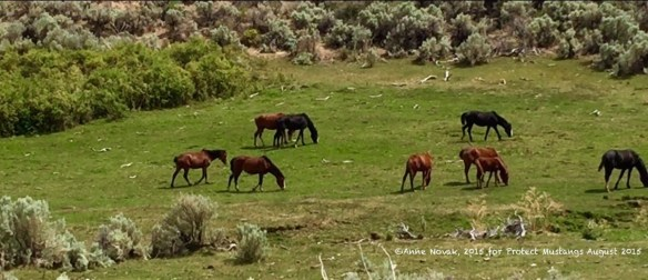 WY14 grazing for the first time since the slaughter-bound roundup