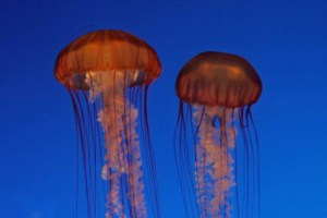jellyfish as cockroaches of the sea