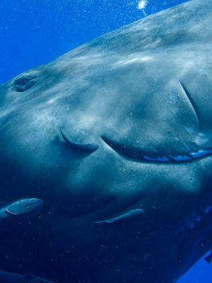 Sperm whale with remoras