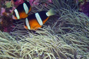 Clark's clownfish Wakatobi Indonesia