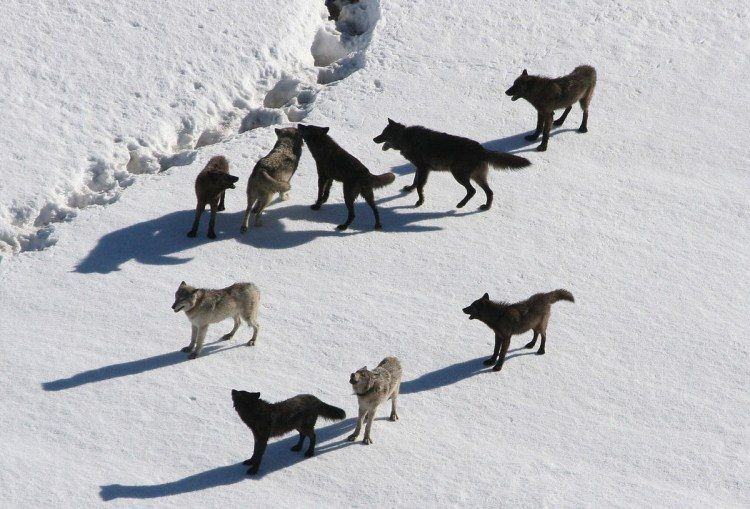 Protect yellowstone wolves, protect the wolves, sacred resource protection zone