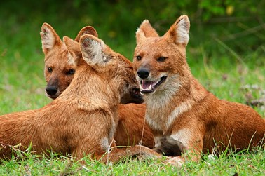 Cute Puppy Live Wallpaper Dhole Dogs We Need To Know