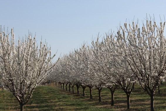 Cherry blossom - Luberon