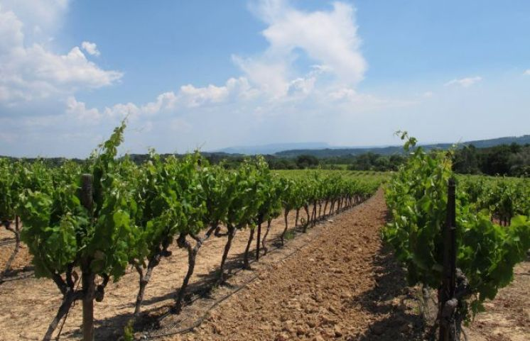 Cucuron vineyard4