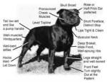Staffordshire Bull Terrier Standard