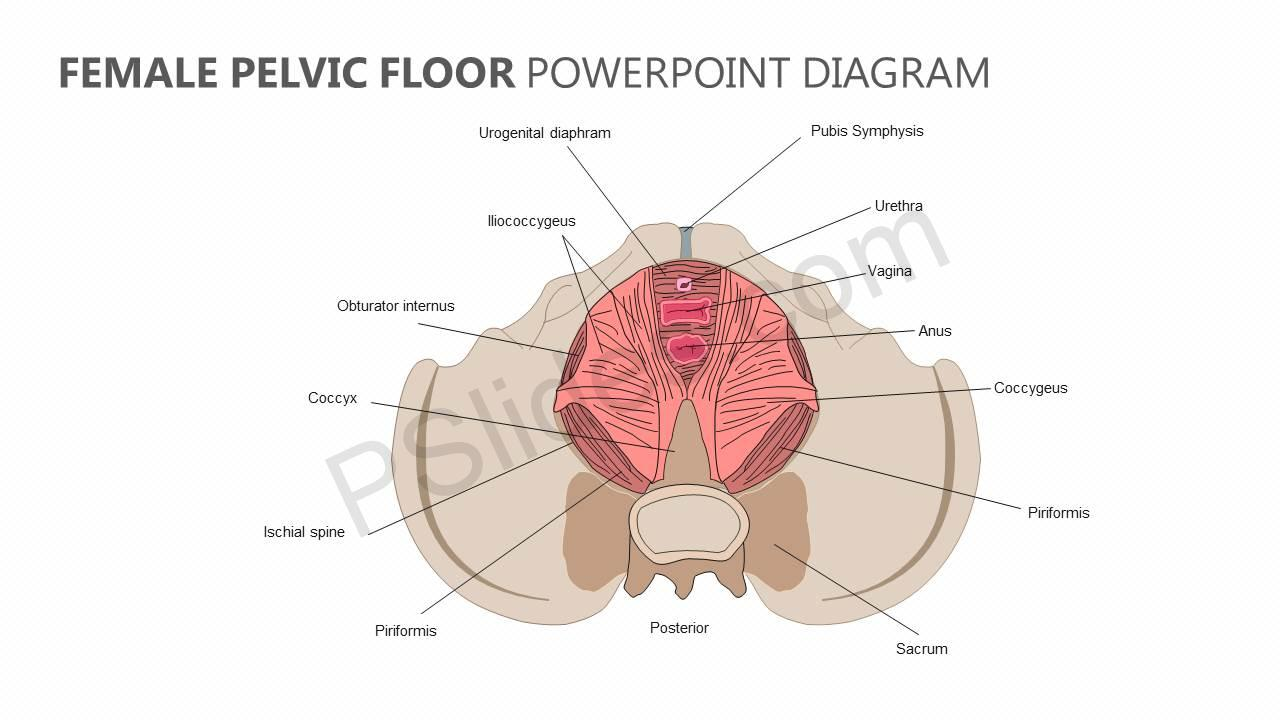 Pelvis Diagram Female Best Wiring Library