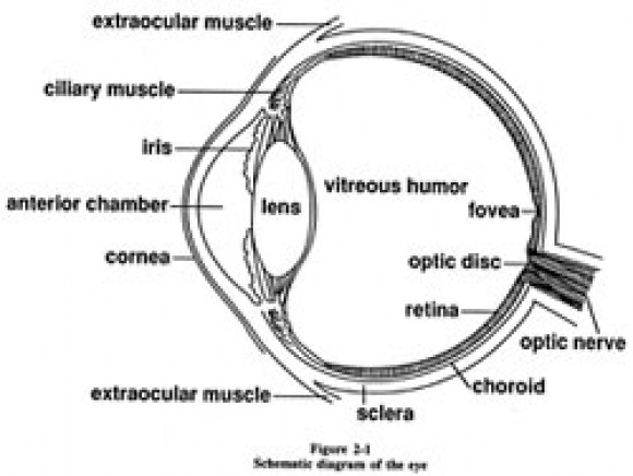 simple human eye diagram the structure of the human eye