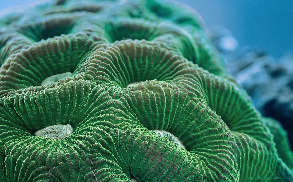 Hard coral (Goniastrea palauensis) macro