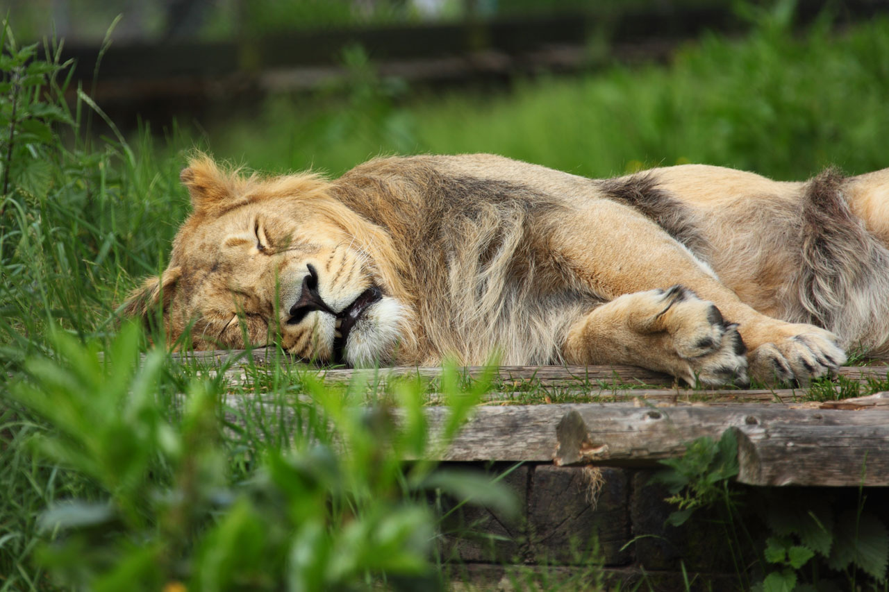 Snow Wallpaper Hd Sleeping Lion Free Stock Photo Public Domain Pictures