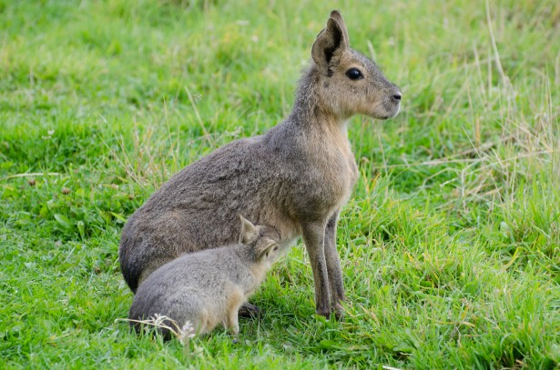 Online Outdoor Patagonian Mara Free Stock Photo - Public Domain Pictures