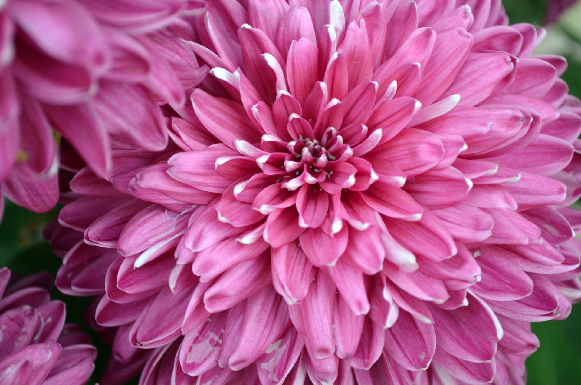 Fall Wallpaper Pink Mums Free Stock Photo Public Domain Pictures