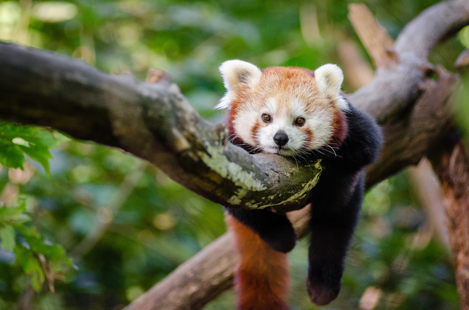 Cute Sleeping Puppy Wallpaper Red Panda Panda Free Stock Photo Public Domain Pictures