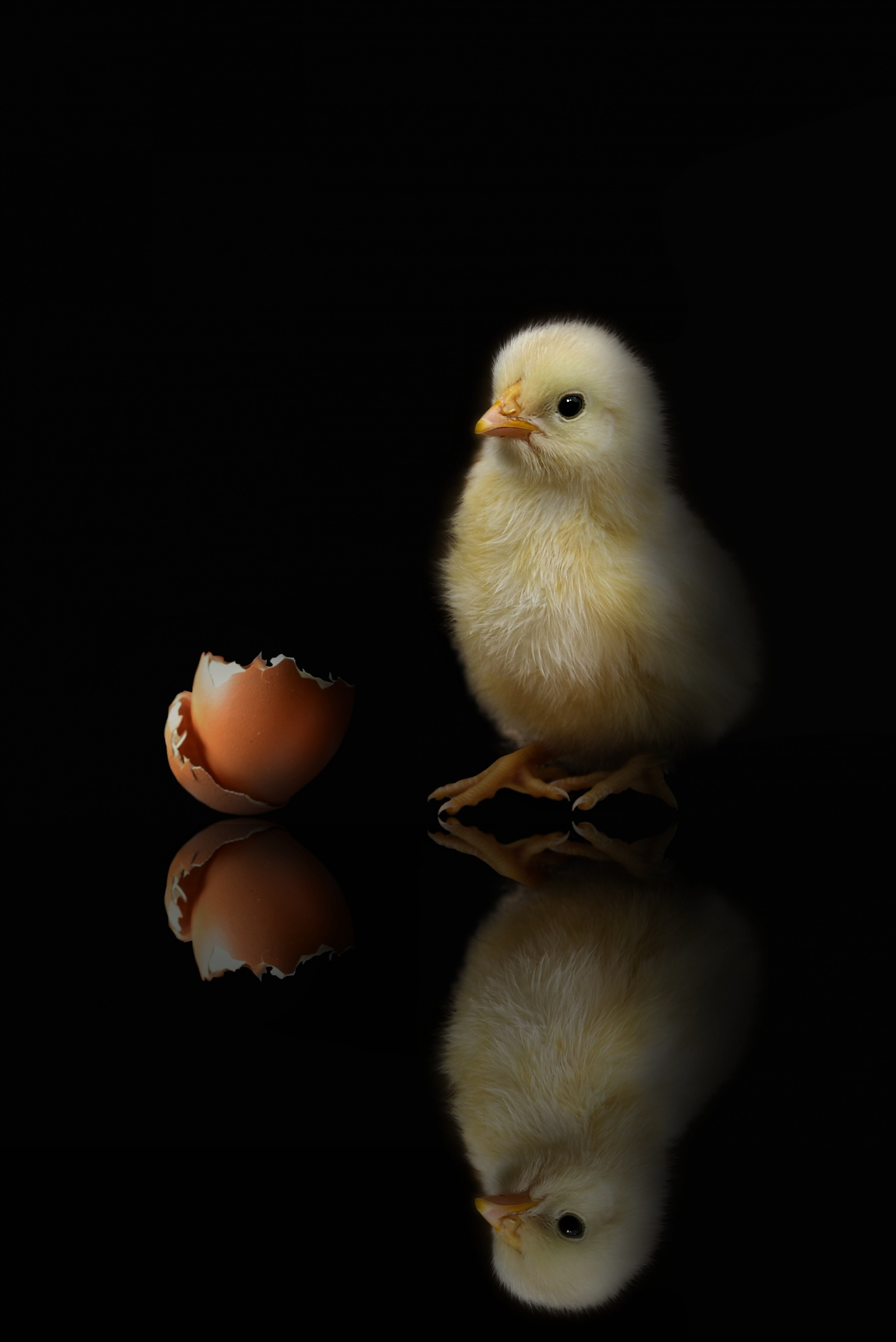 Baby Newborn Chick And Shell, Black Background Free Stock Photo