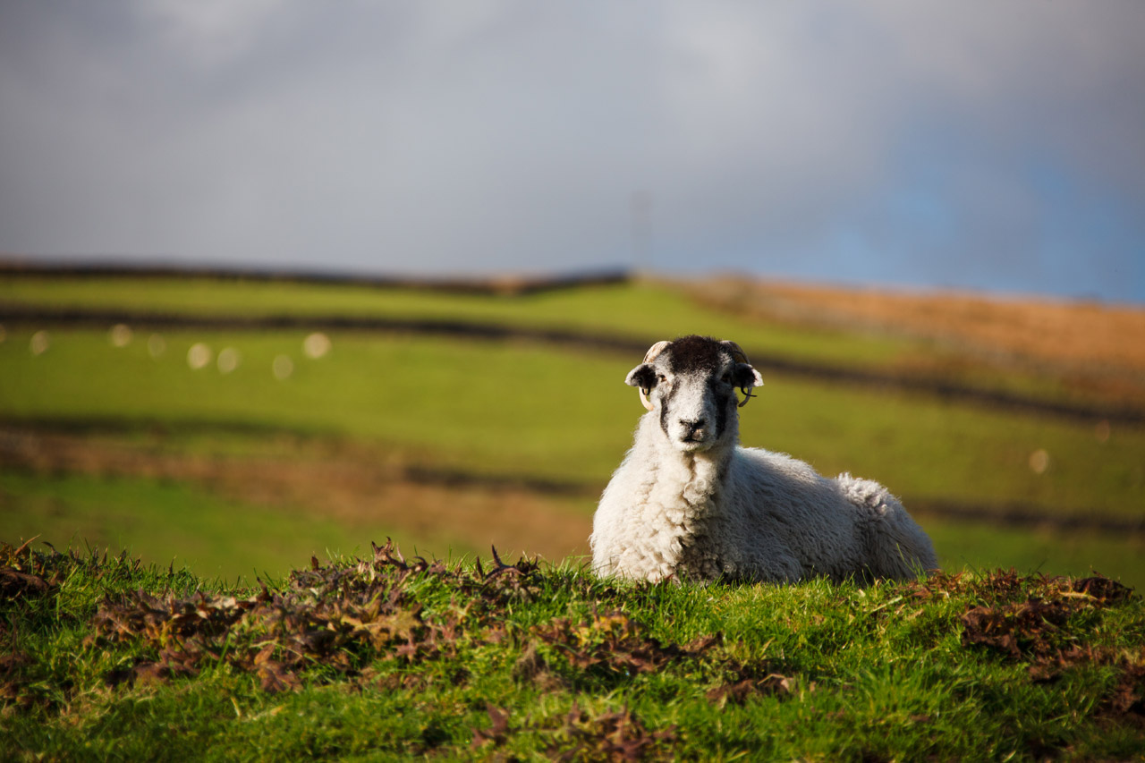 Download Cute Wallpapers For Pc Lying Sheep Free Stock Photo Public Domain Pictures