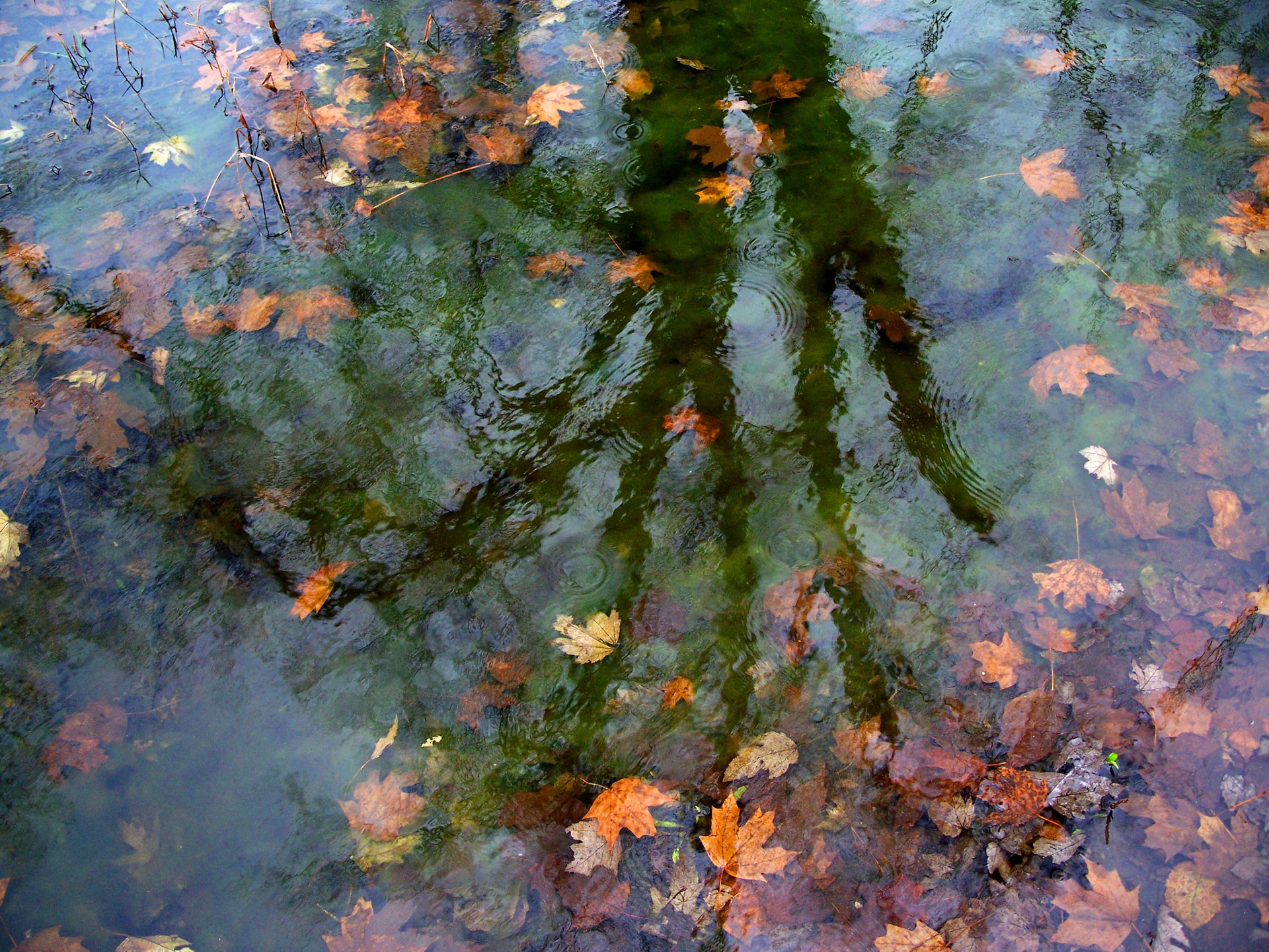 Tree With Leaves Falling Wallpaper Reflections Free Stock Photo Public Domain Pictures