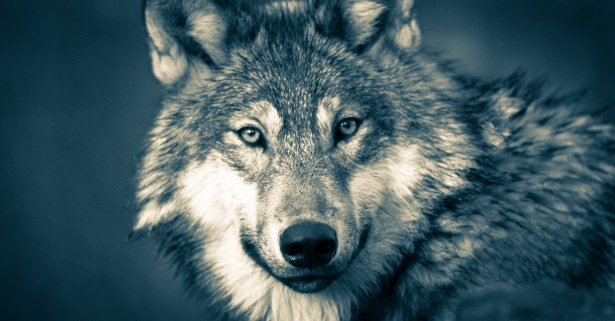 Download Foto Model Wolf, Jungle , Wolves,night Free Stock Photo - Public