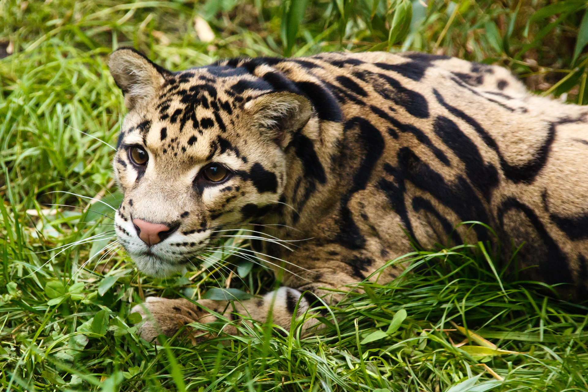 Brauner Panda Clouded Leopard Free Stock Photo Public Domain Pictures