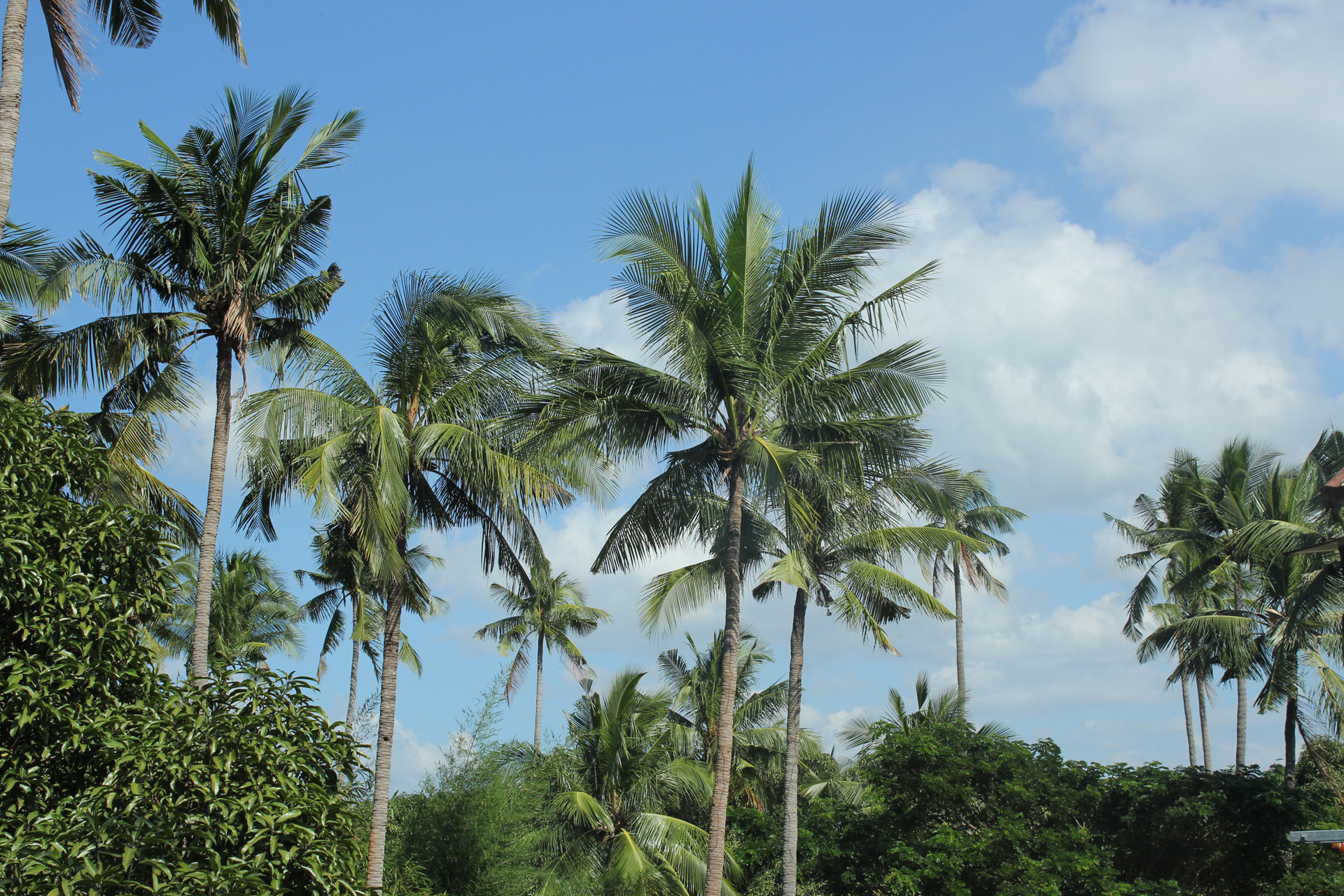 Shutterstock Hd Wallpapers Coconut Trees Free Stock Photo Public Domain Pictures