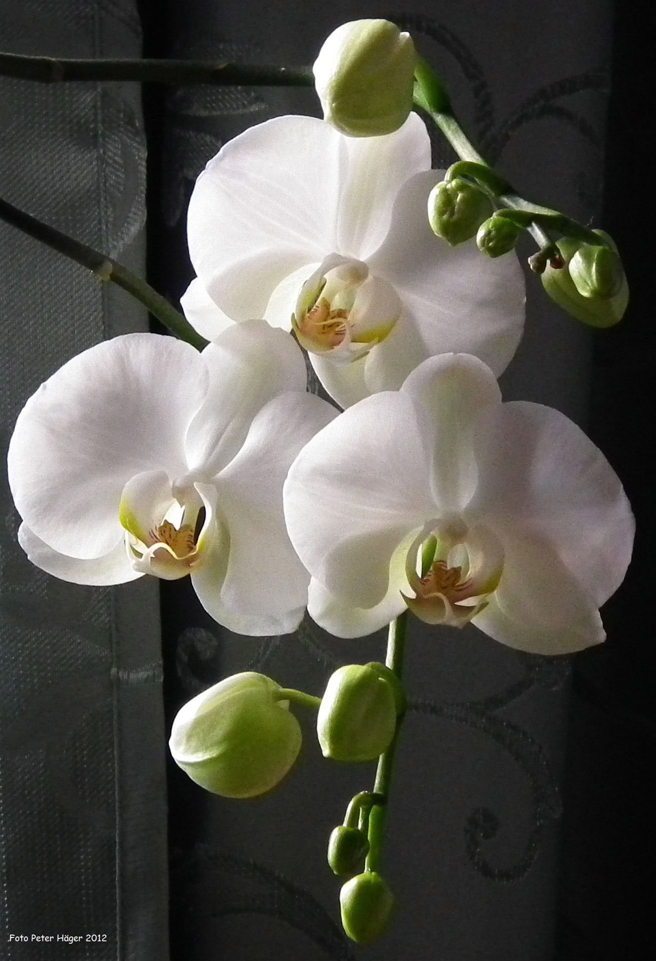 3d Orchid Wallpaper White Orchid Free Stock Photo Public Domain Pictures