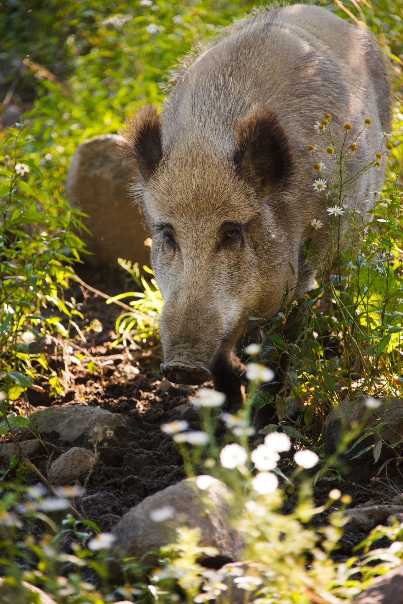Online Outdoor Wild Boar Free Stock Photo - Public Domain Pictures
